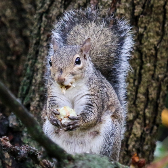 gray squirrel eating buckeye nuts-