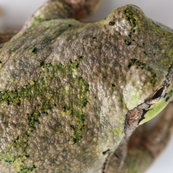 gray treefrog color