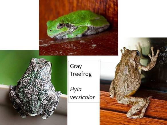 Gray Treefrog, Hyla versicolor