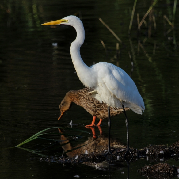 great egret and mallard duck