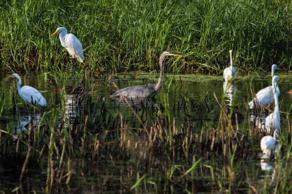 great egrets and GBH