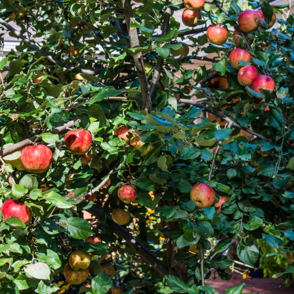 honeycrisp apples-