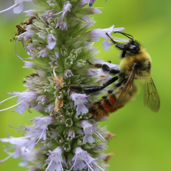 red-belted bumblebee on Giant Hyssop