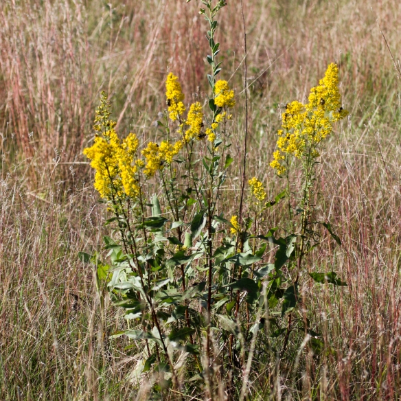 showy goldenrod-