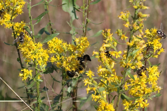 showy goldenrod pollinators-