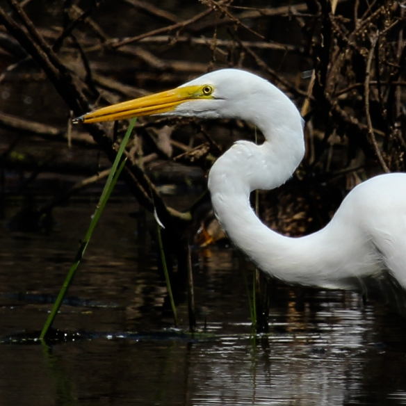 Great Egret at Snail Lake Park