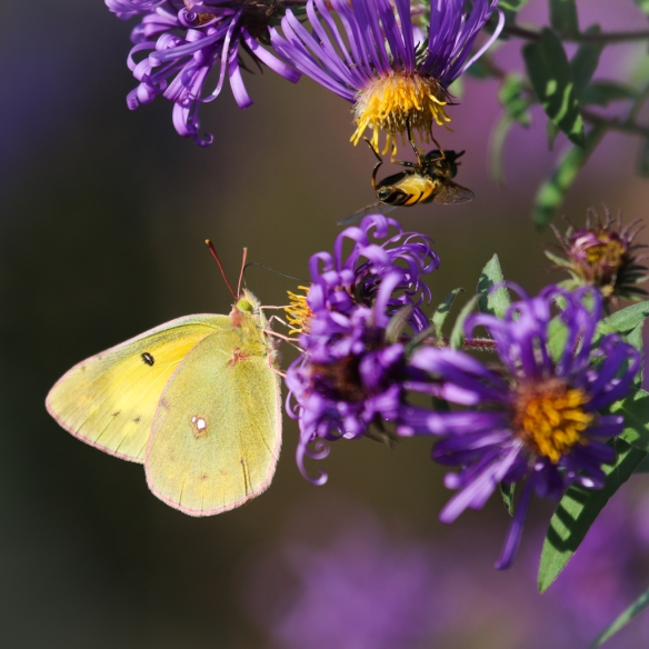 sulfur butterfly on new england aster-