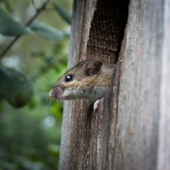 white footed mouse in wood duck box-