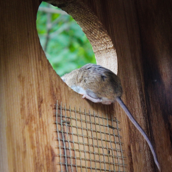 white footed mouse in wood duck box