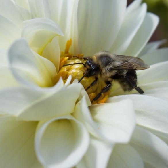 Common eastern bumblebee on Dahlia-