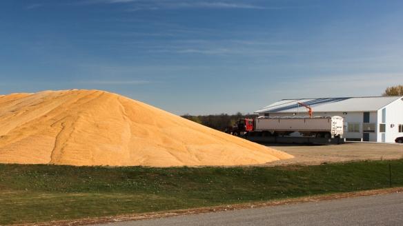 corn harvest - central MN-
