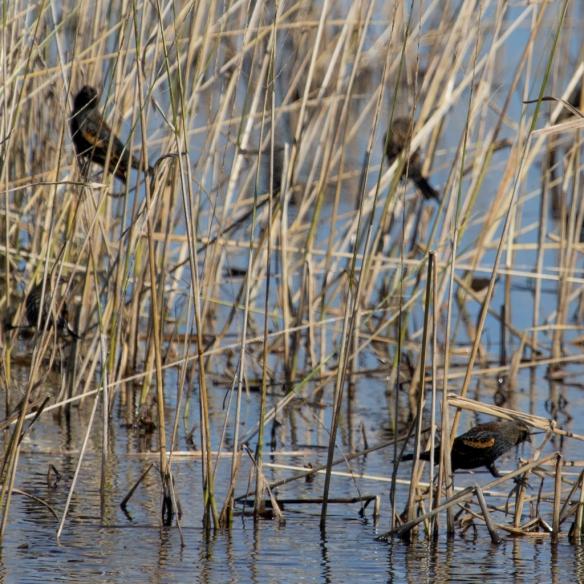 Crex Meadows-Red-winged Blackbir