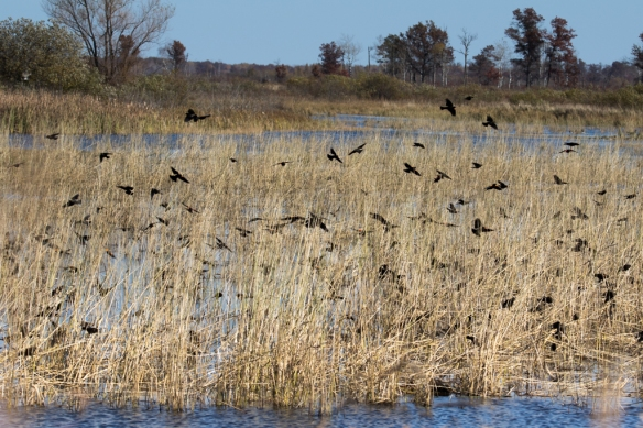 Crex Meadows-Red-winged Blackbirds