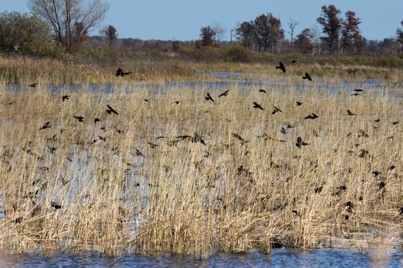 Crex Meadows-Red-winged Blackbirds