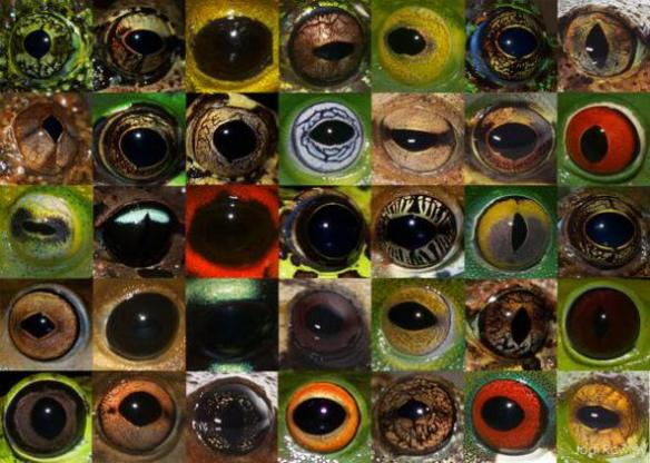 eye color in frogs-Jodi Rowley