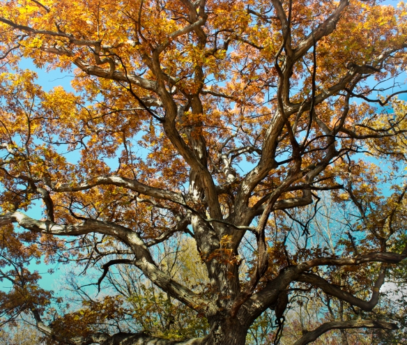 fall color-red oak