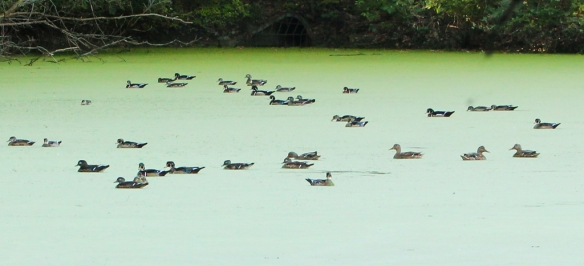 mallards and wood ducks on a duckweed pond-