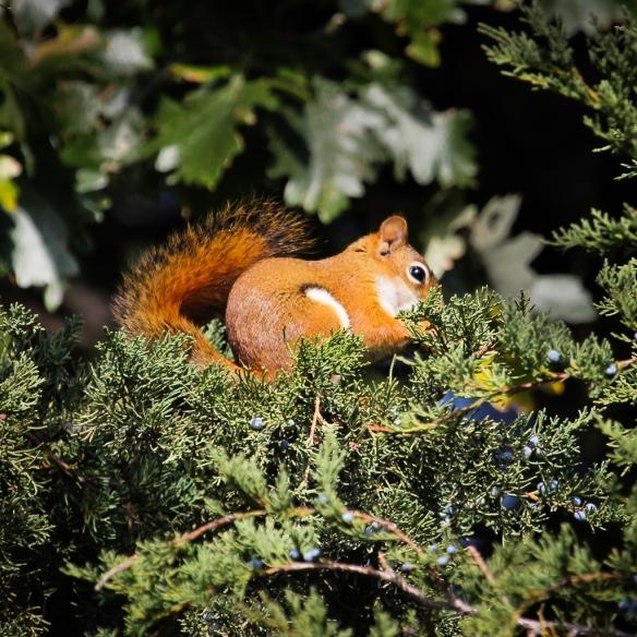 red squirrel eating red cedar berries