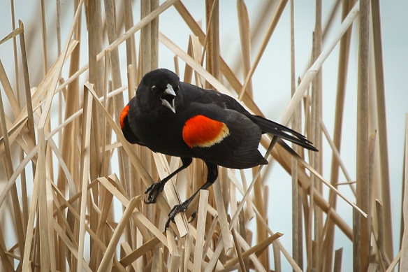 Red-winged Blackbird male-