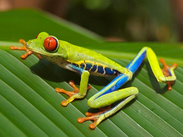 Red_eyed_tree_frog_