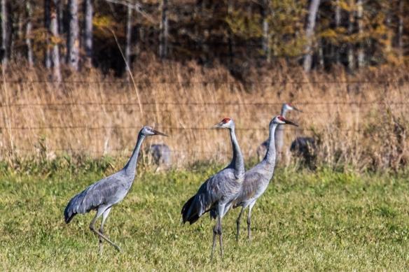 Migration Sandhill 2015 Crane