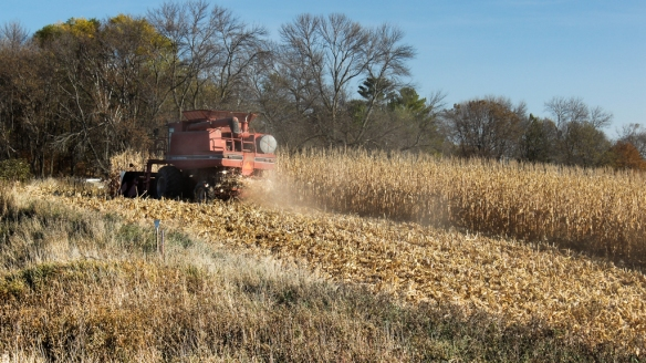 corn harvest in central MN