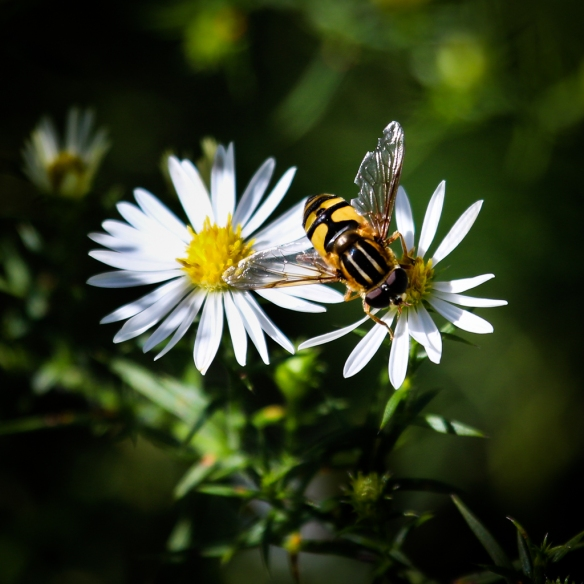 hoverfly on heath aster