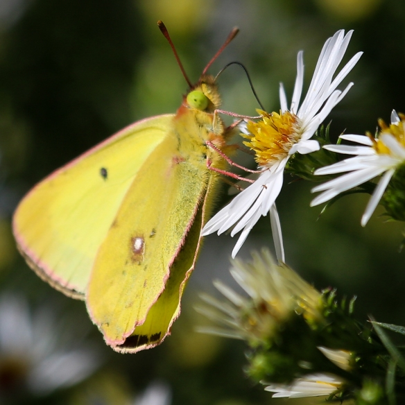 pink-edged sulfur butterfly on heath aster