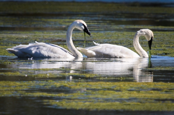 Trumpeter Swans eating duckweed