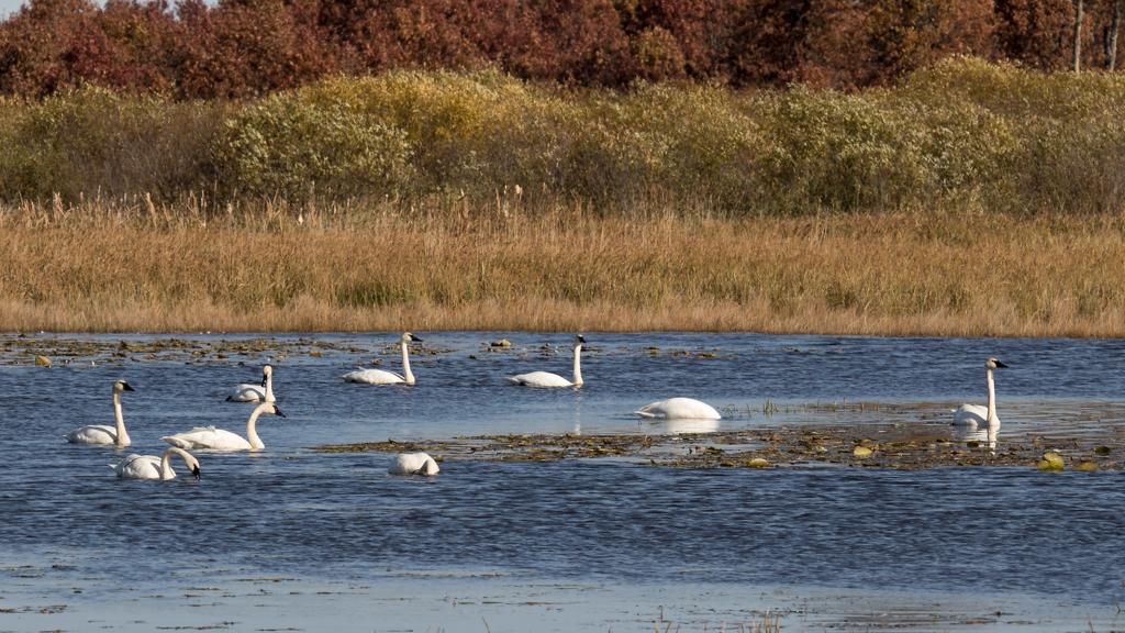 Trumpeter Swans-Crex Meadows-