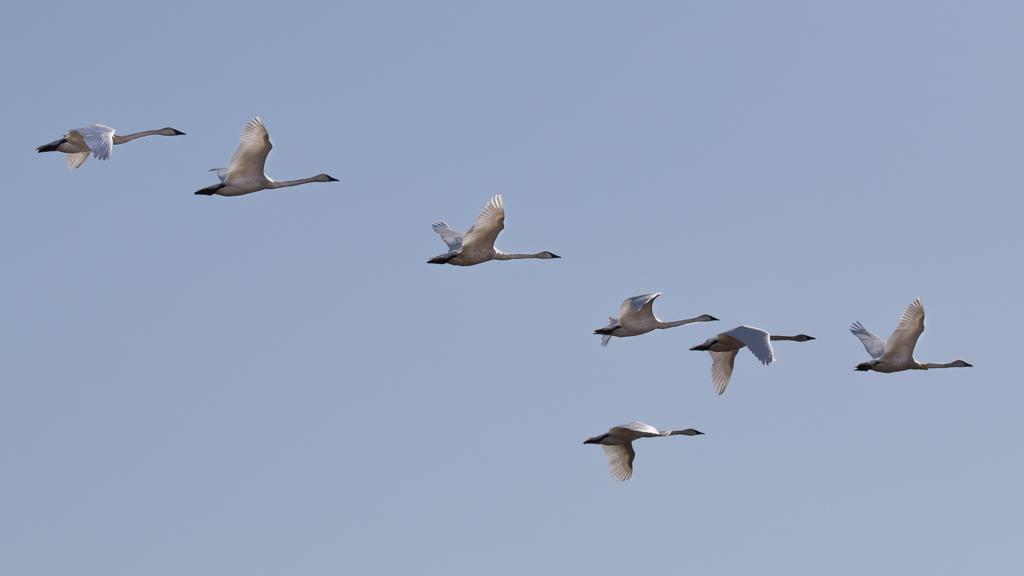 Trumpeter Swans-Crex Meadows