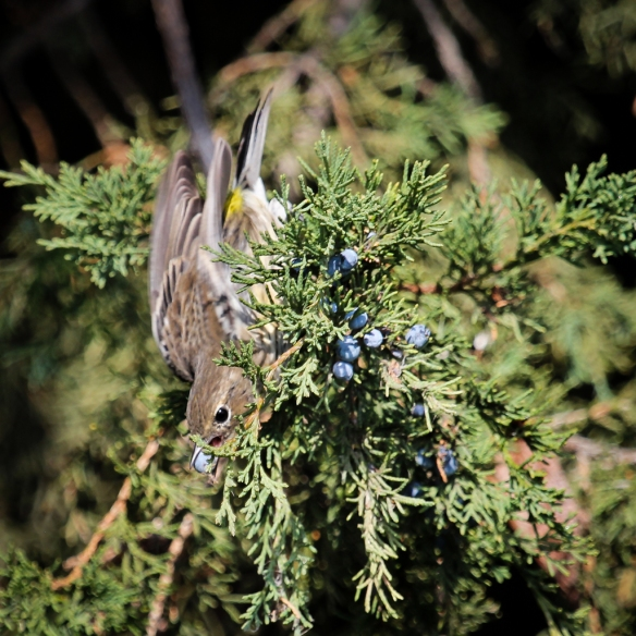 yellow rumped warbler eating red cedar (juniper) berries-