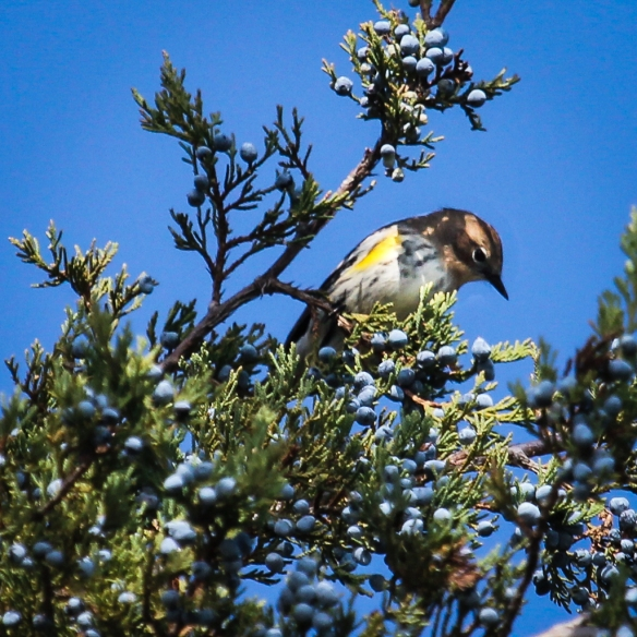 yellow rumped warbler eating red cedar (juniper) berries-