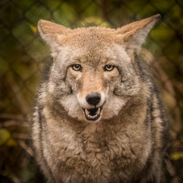 Coyote -- MN zoo