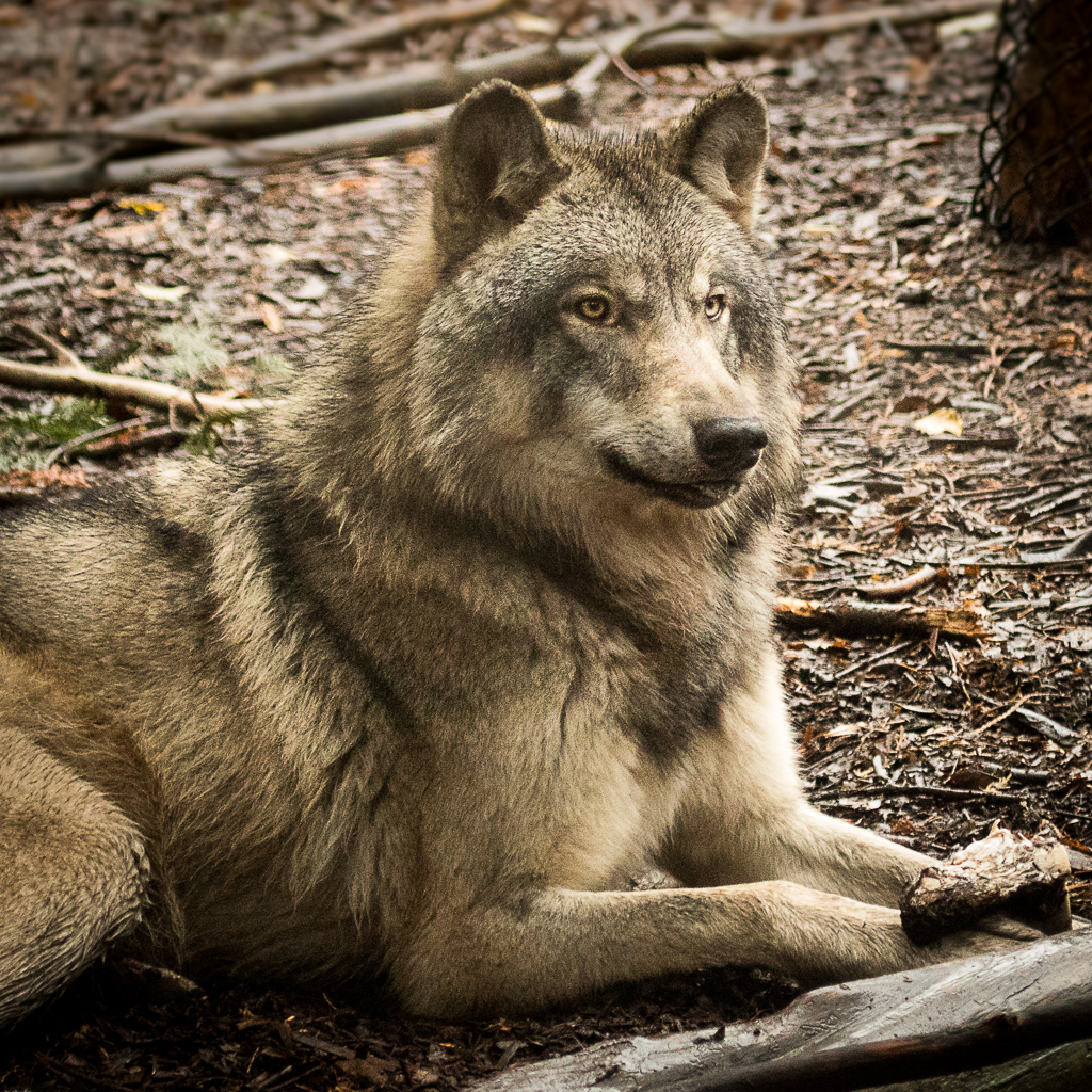 Timber Wolf - MN Zoo