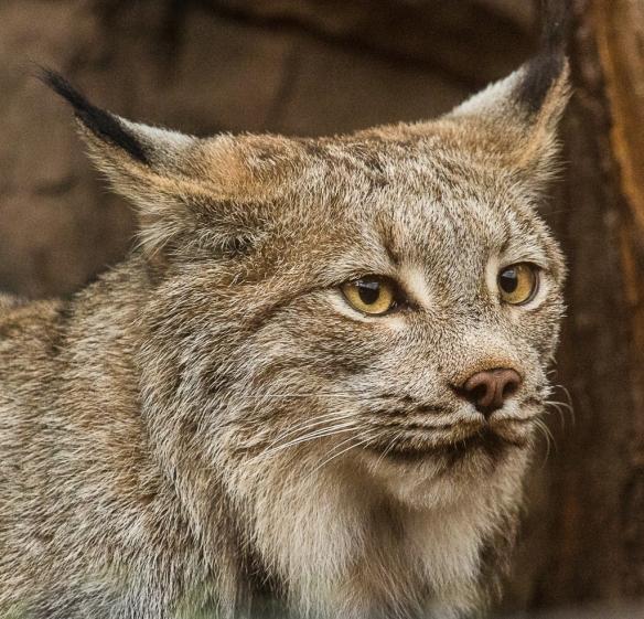 canada Lynx - MN Zoo