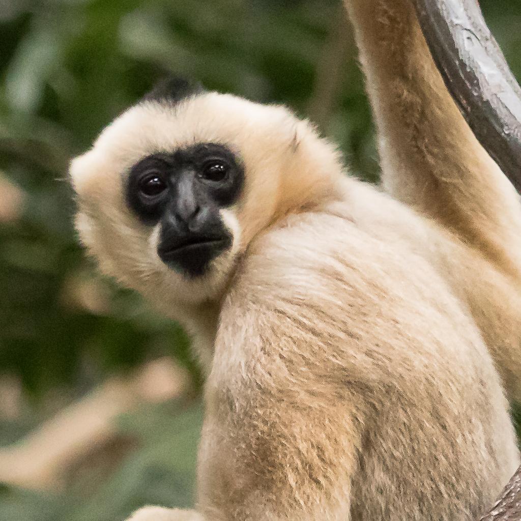 Female White-cheeked Gibbon, MN Zoo