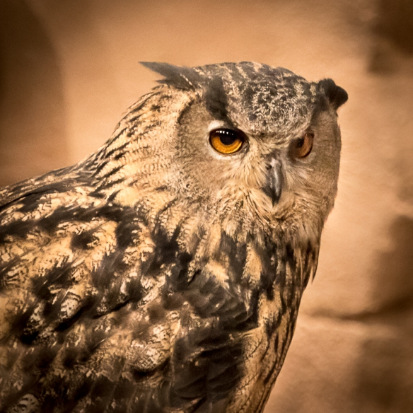 Eurasian Eagle Owl at the MN Zoo