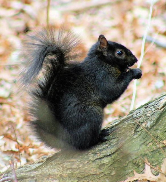 Black_Squirrel-Wikipedia