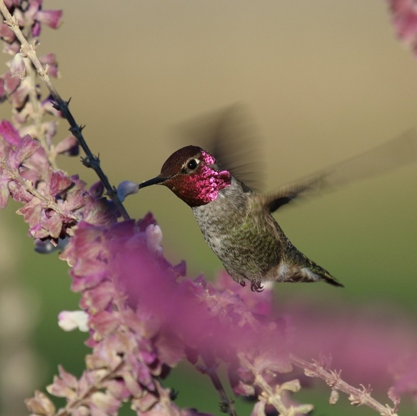 The wings are a blur as this busy little male probes all of the white flowers that still hold some nectar.