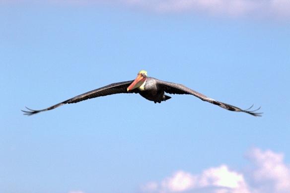 Brown Pelican soaring