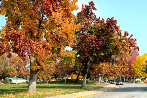 Liquidambar fall color