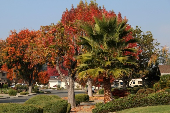 Fall color -Chinese Pistache and palm trees
