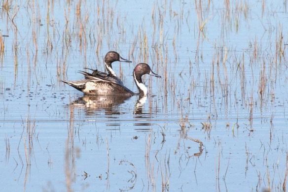 Male Pintail ducks