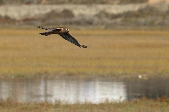 Marsh Hawk or Northern Harrier