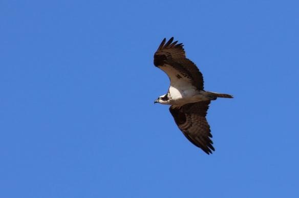 Osprey, San DiegomBay