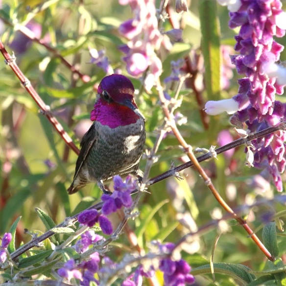 Male Anna's Hummingbird sitting in Mexican Sage