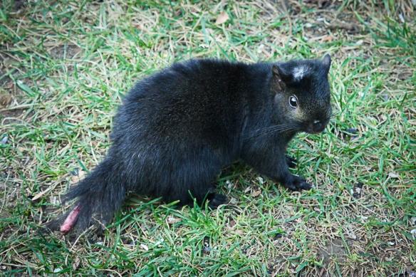 tail-less black squirrel-