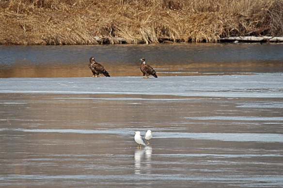 bald eagles on the ice-