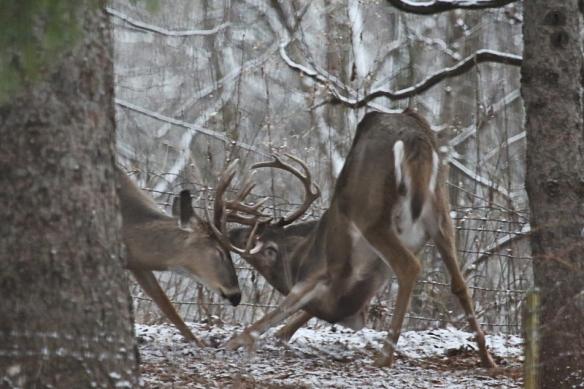 bucks play-fighting